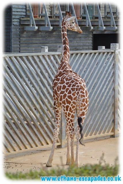 Colchester Zoo giraffes