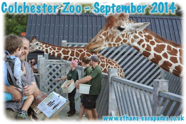 Colchester Zoo giraffe feeding