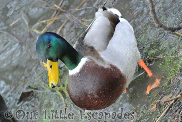 Ducks210