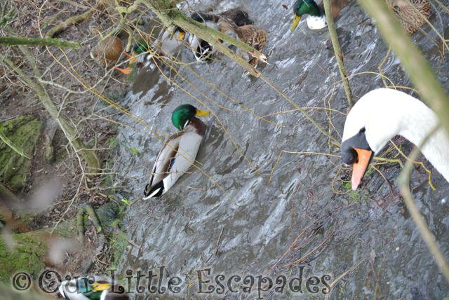 Ducks25
