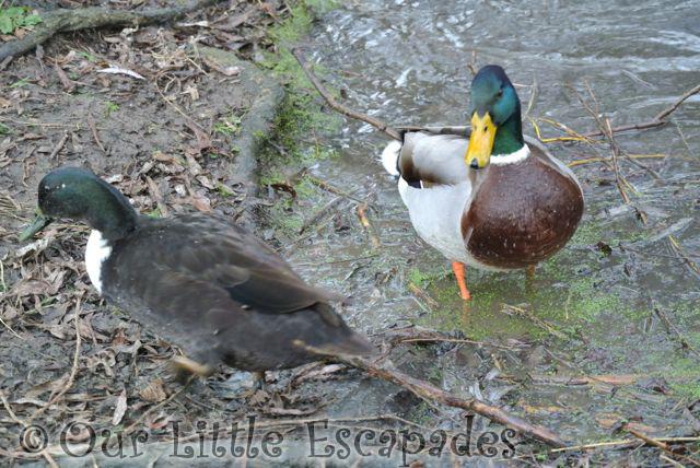 Ducks29