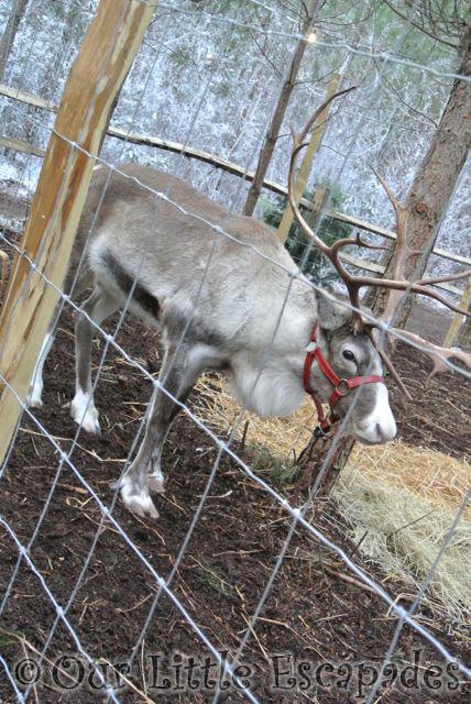 reindeer lapland uk