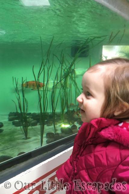 Koi_Colchester_Zoo2
