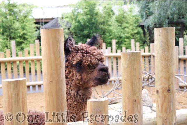 paradise wildlife park alpacas