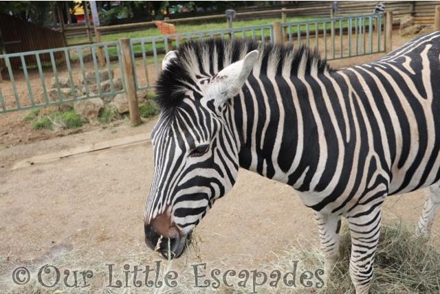paradise wildlife park zebras