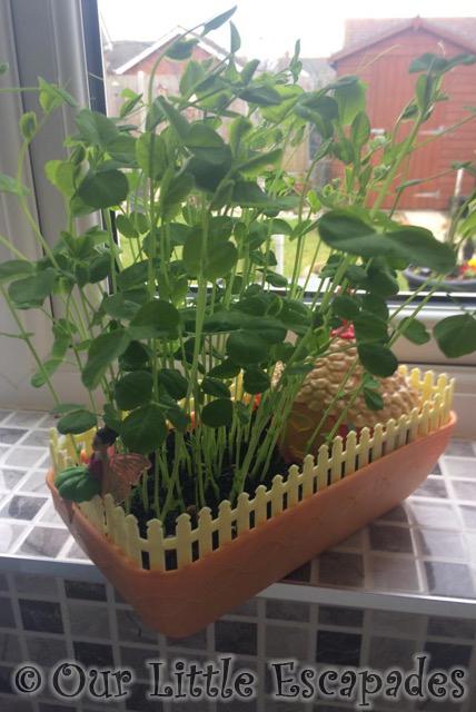 growing pea shoot seeds