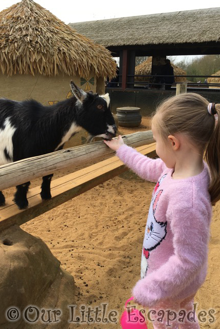 goat feeding colchester zoo little e