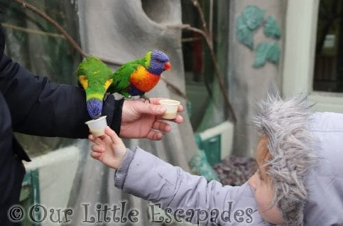 feeding lorikeets lory landing drusillas park