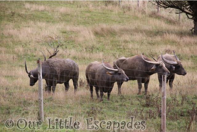 asian water buffalo port lympne safari asian experience