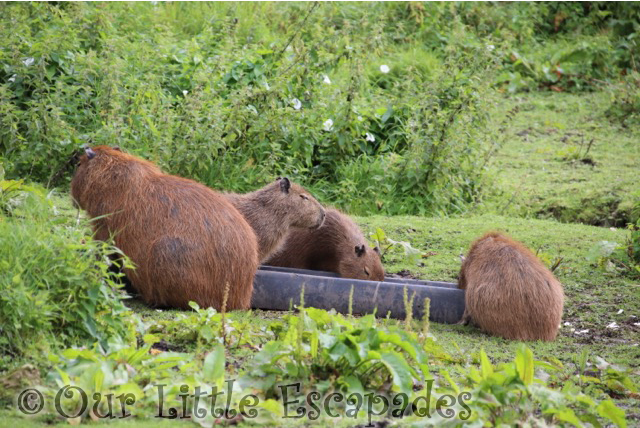 capybara port lympne safari south american experience