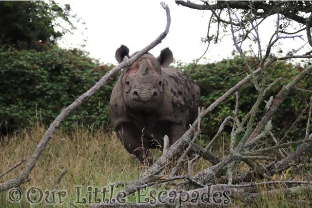 eastern black rhino port lympne safari african experience