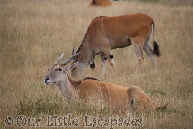 pere davids deer port lympne safari asian experience