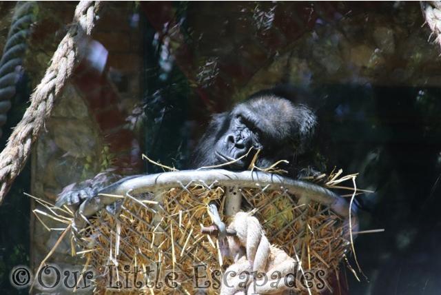 sleeping ape