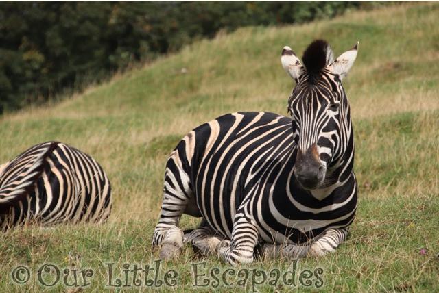 zebra port lympne safari african experience