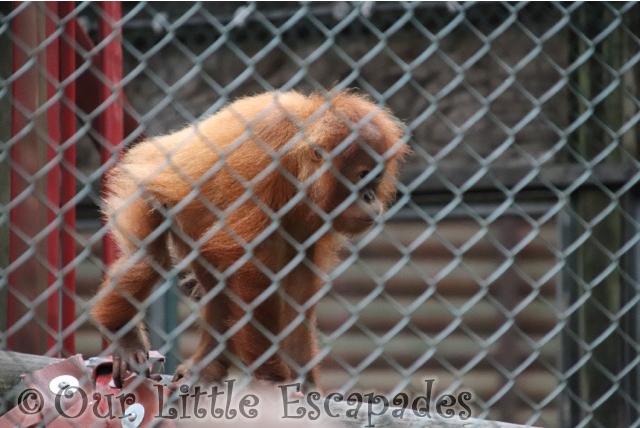 baby orangutan monkey world dorset