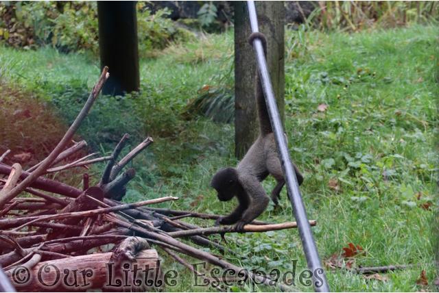 baby woolly monkey monkey world dorset