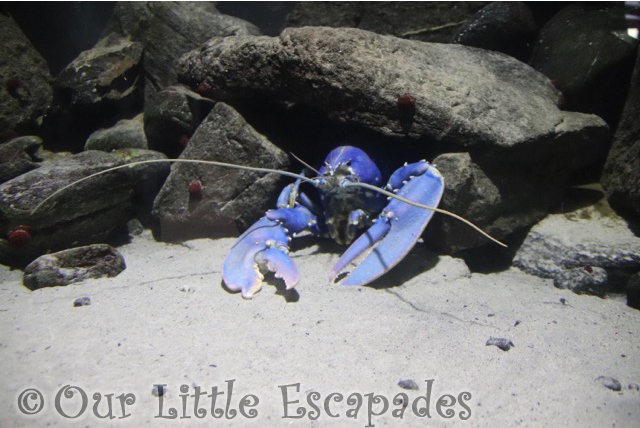 blue lobster atlanterhavsparken alesund norwegian aquarium