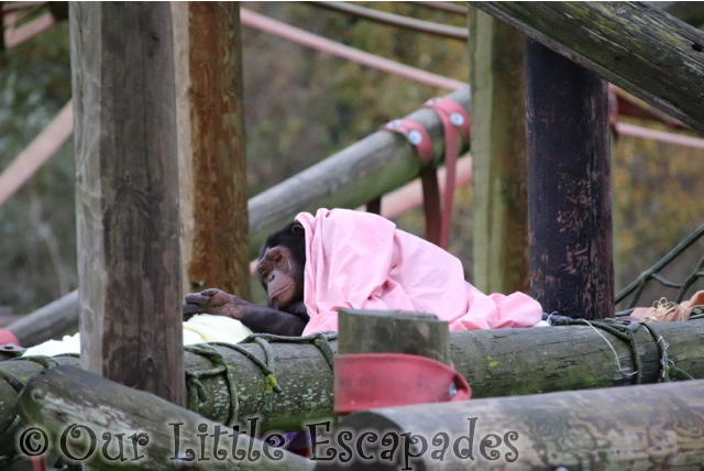 chimpanzee blanket monkey world dorset