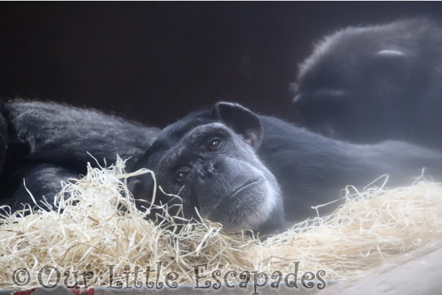 chimpanzee monkey world dorset