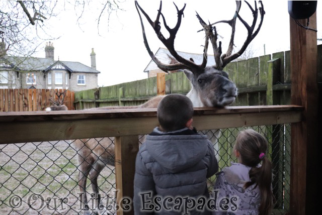 ethan little e feeding reindeer breakfast with santa colchester zoo
