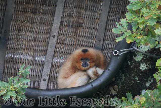 gibbon monkey world dorset