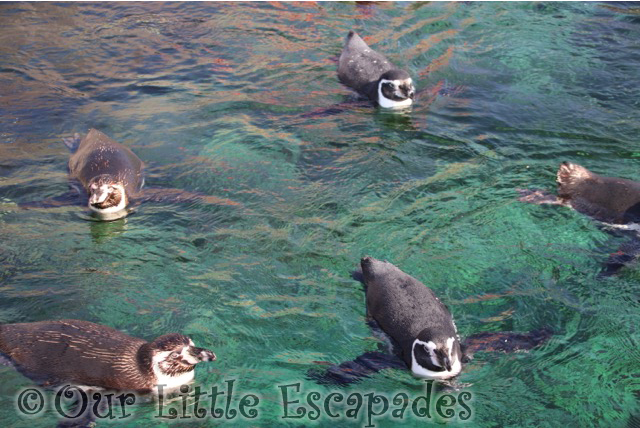 humboldt penguins atlanterhavsparken alesund norwegian aquarium