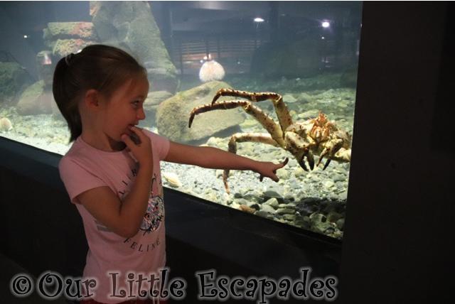 little e red king crab atlanterhavsparken alesund norwegian aquarium