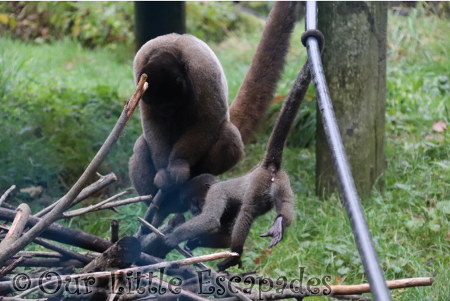 woolly monkeys monkey world dorset