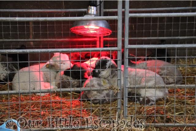 baby lambs barleylands farm park