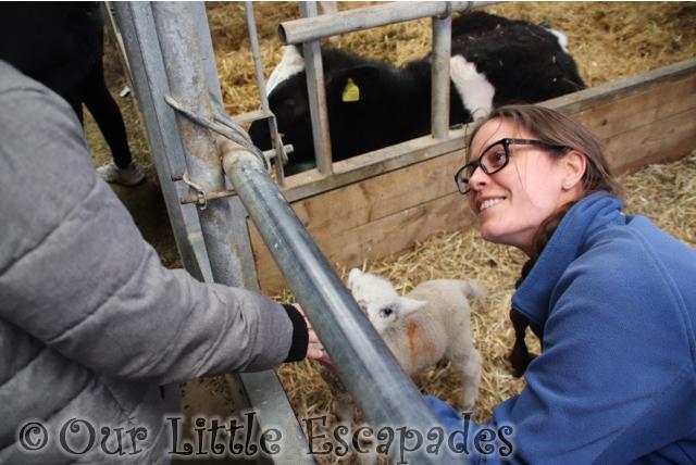 ethan feeding lambs barleylands farm park