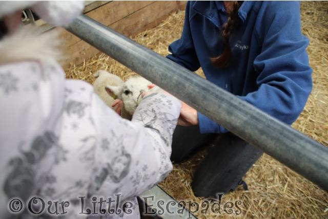 little e lamb feeding
