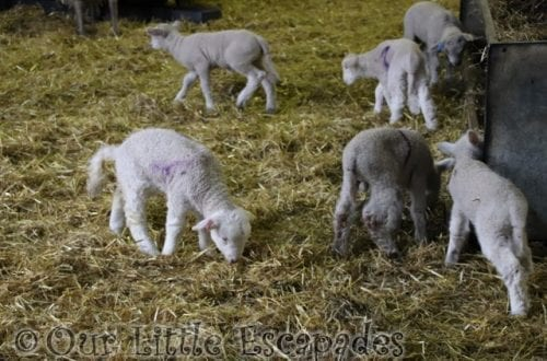 newborn lambs lambing nursery barleylands farm park